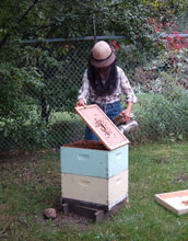 Image of Marla Spivak inspecting honey bee colonies at the University of Minnesota.