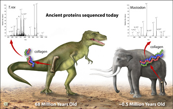 Ancient proteins have been found in bones like those of a 69-million-year-old T. rex fossil.