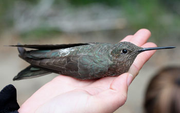 Photo of a female giant hummingbird in a researcher's hand after banding..