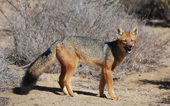 Photo of a culpeo fox.
