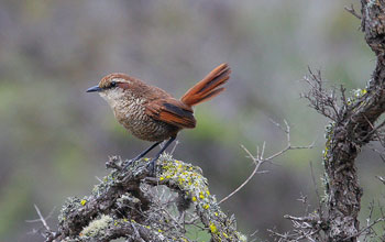 Photo of a white-throated tapaculo.
