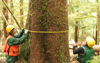 NSF H.J. Andrews LTER site scientists measure a Sitka spruce