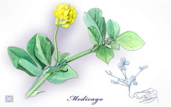 Illustration of Medicago truncatula, a small legume that adapts to high salinity.