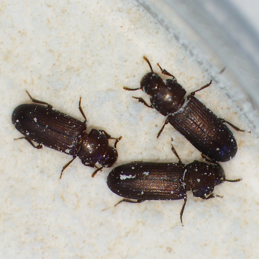 Scientists have studied red flour beetles to learn more about how invasive species spread.