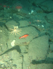 Photo of an orange fish joining invertebrates on the seafloor of the Eel River Basin in California.