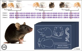 Illustration showing probable evolutionary relationships across mouse strains for various traits.