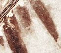 Image showing tips of Microraptor's well-preserved leg feathers, from beneath its tail.
