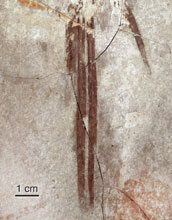Image showing elongate, mid-line feathers in Microraptor's tail-feathering.