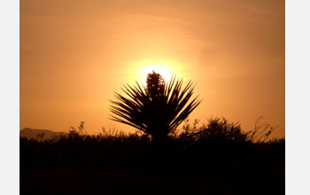 Photo of a yucca in the Mojave Desert with the setting sun in the background.