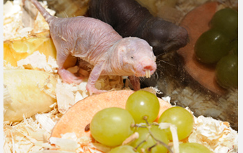 Photo of a naked mole-rat and grapes.