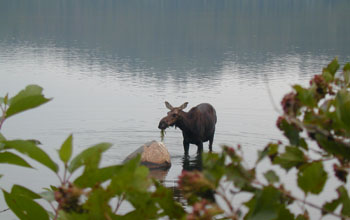Photo of a moose in the water feeding on vegetation with shrubs in the foreground.