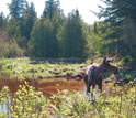 Photo of a moose in water at the shoreline of a body of water at Isle Royale.
