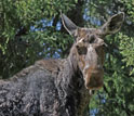 Close up photo of a moose with a tree and foliage in the background.