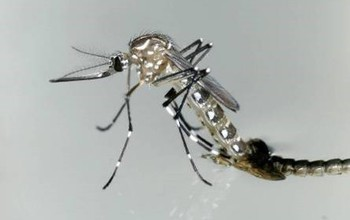 Adult female Aedes aegypti mosquito, a potential disease-carrier, emerges from its pupal stage.