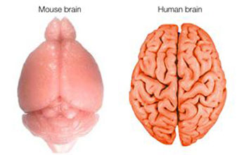 Illustration showing surfaces of the mouse and human brains