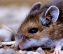 The deer mouse (Peromyscus maniculatus) helps spread hantavirus to humans.