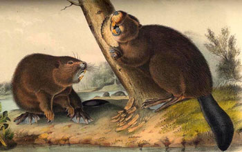 Image of the nineteenth century painting of The American Beaver by John James Audubon.