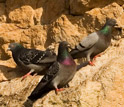 Feral rock pigeons perched on cliffs near Norfolk in the U.K.