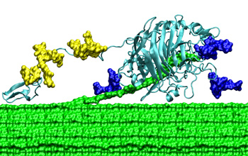 A cellulose-digesting enzyme from a fungus.