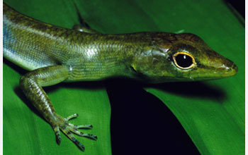 Photo of green-blooded lizard from New Guinea