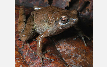 Photo of a new species of frog from New Guinea.