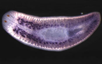 Researchers recently identified a key gene that maintains stem cells in planaria.