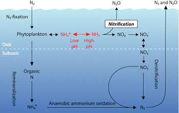 Illustration showing how nitrogen is converted into different chemical forms by microbes.