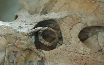 Photo showing a close-up of the eye socket and ring of the dinosaur Protoceratops.