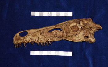 Photo of the skull of the nocturnal carnivore Velociraptor mongoliensis.
