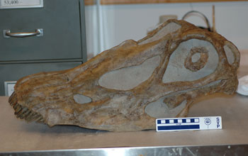 Photo of the skull of the large, plant-eating dinosaur Diplodocus longus.