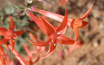 Photo of the red trumpet-like flowers of Scarlet gilia.