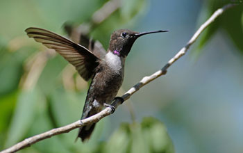Photo of a black-chinned hummingbird with unfurled wings perching on a branch.