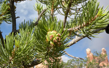 Photo of a pi�on pine showing its pine cone.