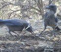 Photo of Western Scrub Jays feeding on pinon pine seeds.