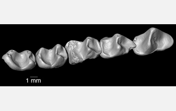Composite lower dentition of the 37-million-year-old primate Nosmips from northern Egypt.