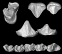 A 3D reconstruction of the upper and lower teeth of the African primate Nosmips.