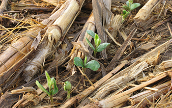 soybeans emerging through no-till corn residue