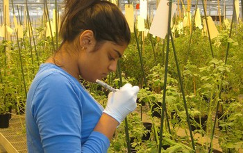 Sheena Shah, a researcher at Indiana University Bloomington, labels wild tomatoes in a greenhouse.