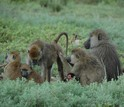 Two adult female baboons groom together while an adult male and several offspring rest nearby.