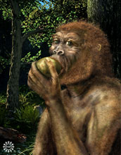 Illustration of Paranthropus boisei, also called Nutcracker Man, eating a fruit.