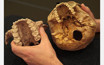 Photo of hands holding the skulls of Paranthropus boisei (left) and modern-day humans (right).