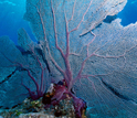 image of a sea fan