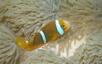 Image of a clownfish above an anemone.
