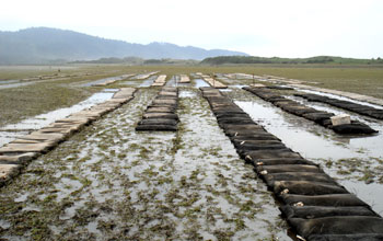 Research site in Netarts Bay, Oregon, at low tide with rows of bags containing seed oysters.