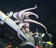 Octopus atop an underwater drill.