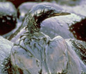Bird covered with oil.