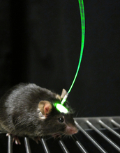 Light is beamed to the target neurons of a laboratory mouse via a fiber cable implanted in its brain