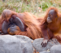 Photo of an adult male orangutan and an infant organgutan at Zoo Atlanta.