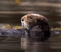 EID scientists are studying infectious disease transmission in California sea otters.