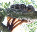group of owl monkeys huddling,  with an infant  is huddled between the mother and father.
